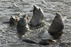 Elephant seals the in water Royalty Free Stock Images
