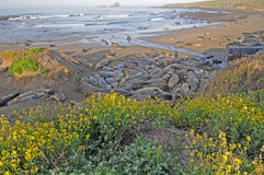 Elephant seals with wildflowers. Elephant Seals snuggle along wildflower laden coastline stock photo
