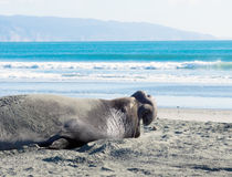 Elephant Seals  yawning Royalty Free Stock Image