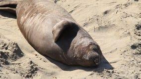 Elephant Seals 6 stock video footage