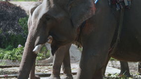Elephant with a seat on the back close-up stock video footage