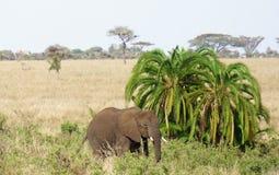 Elephant in Serengeti Stock Photo
