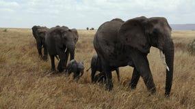 Elephant, Serengeti, National Park Stock Photography