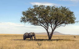 Elephant in the shade. In serengeti of Tanzania with acacias  on a cloudy day Royalty Free Stock Photography