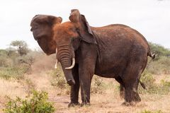 Elephant shaking dust off it's head Royalty Free Stock Images