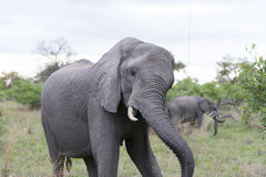 Elephant shaking head in front of the car royalty free stock image