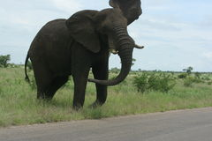 Elephant shaking his ears. We saw the elephant in the Kruger Park. He was unhappy because there was to many vehicles Stock Images
