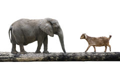 Elephant and sheep walking over the single wooden bridge. Isolated on white, rivalry concept Royalty Free Stock Images