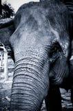 Portrait of an Elephant in Thailand. Elephant shot on the island of ko phangan, thailand Stock Photos