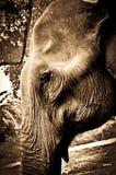 Portrait of an Elephant in Thailand. Elephant shot on the island of ko phangan, thailand Royalty Free Stock Image