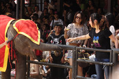 Elephant show, audience give food to elephant Stock Photos
