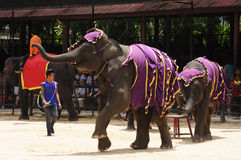 Elephant show, an elephant dance Royalty Free Stock Photo