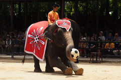 Elephant show, an elephant plays football Stock Image