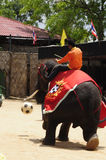Elephant show, an elephant plays football Stock Images