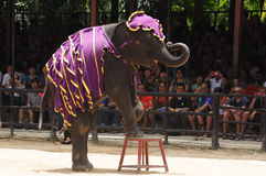 Elephant show, an elephant stands on a chair Stock Photography
