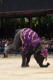 Elephant show, an elephant stands by two legs Royalty Free Stock Images