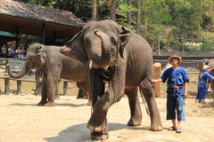 Elephant Show at Maesa Elephant Camp, Chiangmai, Thailand on Apr Royalty Free Stock Photography