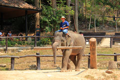 Elephant Show in Chiangmai, Thailand Royalty Free Stock Images
