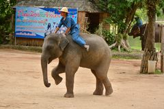 The elephant show one activity that people like to show Thailand stock image