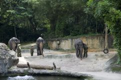 Elephant show in Singapore Zoo. Cambodian elephant trainers were giving an elephant show in Singapore zoo royalty free stock image