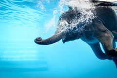 Elephant. Show swimming and blow the bubbles out of the trunk underwater in Thailand Royalty Free Stock Image