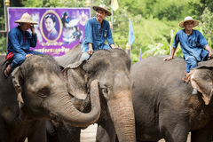 Daily elephant show at The Thai Elephant Conservation Center. Stock Images