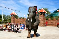 Elephant show walk with 2 legs Royalty Free Stock Photos