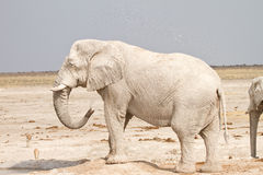 Elephant showering. African elephant showering, Etosha, Namibia Royalty Free Stock Photography