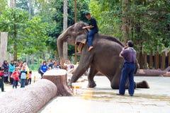 Elephant shows. KUALA GANDAH, MALAYSIA - SEPTEMBER 24: Staff of Kuala Gandah Elephant Conservation Centre climbing an elephant during an elephants show on SEP 24 Royalty Free Stock Photos