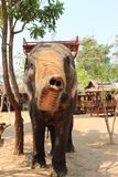 An elephant shows his trunk. In elephant camp ,Surin,Thailand stock photo