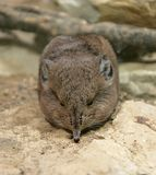 Elephant Shrew 1 Royalty Free Stock Image