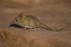 Elephant Shrew Stock Photography