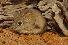 Elephant shrew. Small insectivore not related to true shrews, elongated snout, large ears, prominent eyes with white eyering, soft fur, adapted to savannas Stock Photography