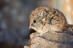 Elephant shrew baby Stock Image