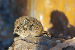 Elephant shrew baby Stock Photo