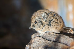 Elephant shrew baby Stock Photography