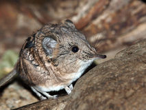 Elephant shrew Royalty Free Stock Photos