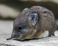 Elephant shrew 4 Stock Photo