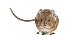Elephant shrew - Macroscelides proboscideus - isolated on whitre Royalty Free Stock Image
