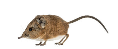 Elephant shrew - Macroscelides proboscideus - isolated on whitre Royalty Free Stock Photography