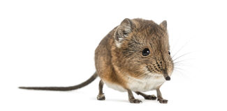 Elephant shrew - Macroscelides proboscideus - isolated on whitre Royalty Free Stock Photos