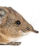 Elephant shrew - Macroscelides proboscideus - isolated on whitre Stock Images