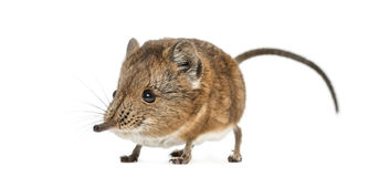 Elephant shrew - Macroscelides proboscideus - isolated on whitre Stock Image