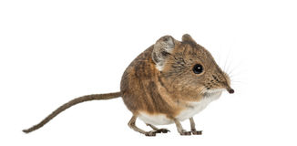 Elephant shrew - Macroscelides proboscideus - isolated on whitre Royalty Free Stock Photo