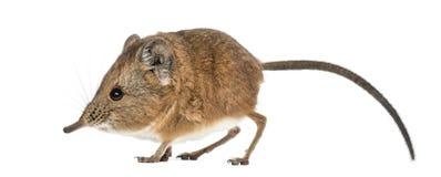 Elephant shrew - Macroscelides proboscideus - isolated on whitre royalty free stock image