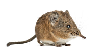 Elephant shrew - Macroscelides proboscideus - isolated on whitre Stock Photo