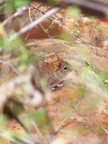 Elephant Shrew. Not really rare, so much as easily overlooked. The elephant shrew is one of the rarer sighting from Africa`s Small Five. Photographed through Royalty Free Stock Images