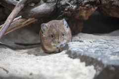 Elephant shrew sitting and looking Royalty Free Stock Photos