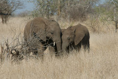 Elephant Siblings. Two young elephants in Kruger Park share a friendship moment Royalty Free Stock Photography