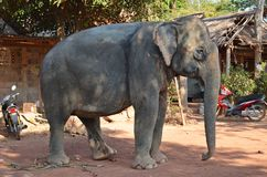 Elephant. Side profile of an indian elephant in thailand stock images